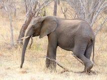 El elefante fotografió en la reserva del juego de Chobe, Botswana Foto de archivo
