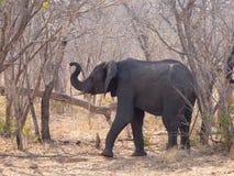 El elefante fotografió en la reserva del juego de Chobe, Botswana Fotos de archivo libres de regalías