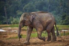 El elefante lleva las hojas Imagenes de archivo