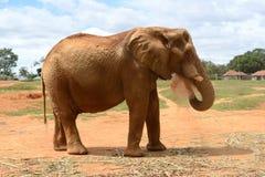 El elefante poderoso toma una ducha de la arena imagen de archivo