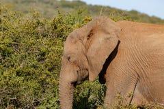 El elefante que caminaba con sus ojos se cerró imágenes de archivo libres de regalías