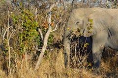 El elefante que come el árbol sale de la sabana Fotos de archivo