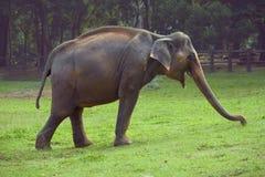 El elefante se coloca en la hierba Fotografía de archivo libre de regalías