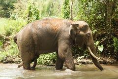 El elefante se está bañando en una charca entre una selva tropical fotografía de archivo libre de regalías
