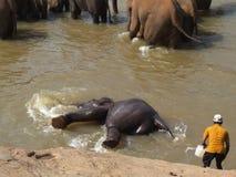El elefante se está zambulliendo en el río Fotos de archivo libres de regalías