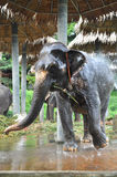 El elefante toma un baño Fotografía de archivo