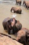 El elefante toma una ducha Imágenes de archivo libres de regalías