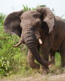 El elefante viejo grande está corriendo derecho en usted África kenia tanzania serengeti Maasai Mara imagenes de archivo