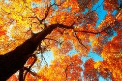 El elegantulum rojo del acer y el cielo azul imágenes de archivo libres de regalías