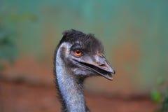 El emú Fotografía de archivo