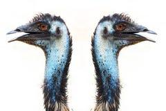 El em? en Australia similar a la avestruz es fondo blanco del tama?o de la estatura - imagen fotografía de archivo libre de regalías