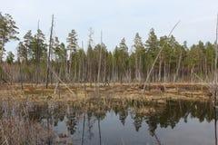 El empantanar de una charca entre la madera de la primavera Fotografía de archivo