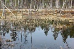 El empantanar de una charca entre la madera de la primavera Imagen de archivo libre de regalías