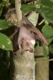El enano masculino epauletted la ejecución del palo de fruta (pussilus de Micropteropus) en un árbol Imágenes de archivo libres de regalías