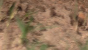 El encabritado, enfoque hacia fuera atormenta los tiros del foco de las hormigas frenéticas que se arrastran a través de un montó almacen de video