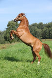 El encabritarse árabe joven del caballo imagen de archivo