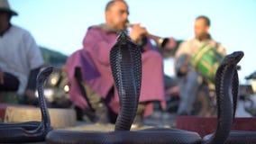 El encantar de la cobra Serpiente que es encantada por la música jugada por el hombre en la calle de Marrakesh, Marruecos almacen de video