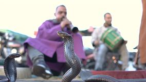 El encantar de la cobra Serpiente que es encantada por la m?sica jugada por el hombre en la calle de Marrakesh, Marruecos almacen de metraje de vídeo
