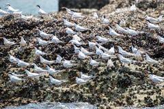 El encaramarse adulto y juvenil de la golondrina de mar rosada en piedra imagenes de archivo