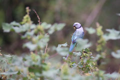 El encaramarse del periquito del verde de Malabar Imagen de archivo
