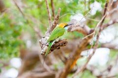 El encaramarse verde de los orientalis del Merops del abeja-comedor Fotos de archivo libres de regalías