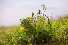 El encaramarse verde de los orientalis del Merops del abeja-comedor Foto de archivo libre de regalías