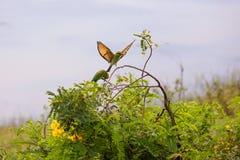 El encaramarse verde de los orientalis del Merops del abeja-comedor Foto de archivo