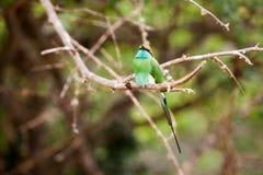 El encaramarse verde de los orientalis del Merops del abeja-comedor Fotografía de archivo libre de regalías