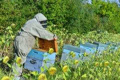 El encargado de la abeja que trabaja con la abeja encorcha en un campo del girasol Foto de archivo libre de regalías