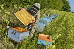 El encargado de la abeja que trabaja con la abeja encorcha en un campo del girasol Imagen de archivo libre de regalías
