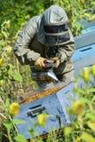 El encargado de la abeja que trabaja con la abeja encorcha en un campo del girasol Imagenes de archivo