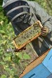 El encargado de la abeja que trabaja con la abeja encorcha en un campo del girasol Foto de archivo