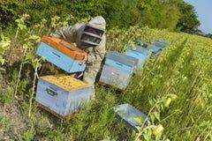 El encargado de la abeja que trabaja con la abeja encorcha en un campo del girasol Fotos de archivo