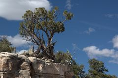 El enebro de Utah es el árbol más común del gran lavabo y se distribuye extensamente en el oeste árido [ fotos de archivo libres de regalías