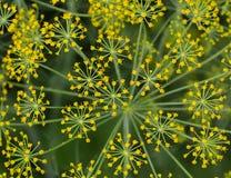 El eneldo amarillo florece en el jardín en un día de verano, visión superior, clo Foto de archivo libre de regalías