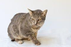 El enfermo del gato como Calicivirus felino FCV foto de archivo