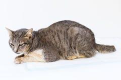El enfermo del gato como Calicivirus felino FCV imagen de archivo