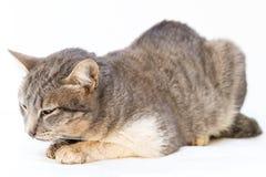 El enfermo del gato como Calicivirus felino FCV imagenes de archivo
