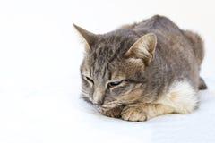 El enfermo del gato como Calicivirus felino FCV imágenes de archivo libres de regalías