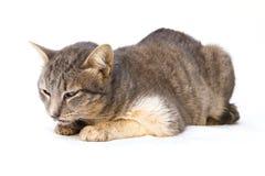 El enfermo del gato como Calicivirus felino FCV fotografía de archivo