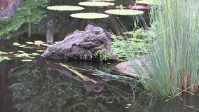 El enfoque hacia fuera de la roca en el jardín japonés ajardinado, revela amazónico waterlily y el pequeño árbol que enmarca la v almacen de metraje de vídeo
