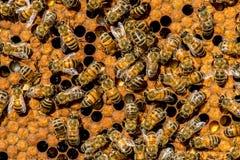 El enjambre de la abeja reina Fotos de archivo