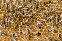 El enjambre de la abeja reina Imagen de archivo libre de regalías