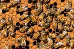 El enjambre de la abeja reina Foto de archivo libre de regalías