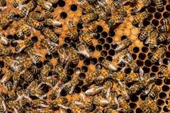 El enjambre de la abeja reina Fotografía de archivo