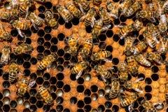 El enjambre de la abeja reina Imágenes de archivo libres de regalías
