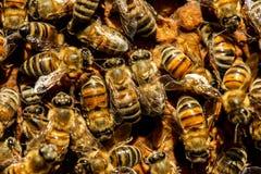 El enjambre de la abeja reina Imagenes de archivo