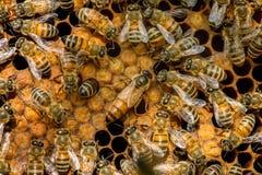 El enjambre de la abeja reina Imagen de archivo