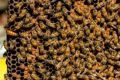 El enjambre de la abeja reina - foco selectivo Foto de archivo libre de regalías