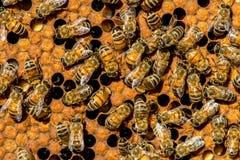 El enjambre de la abeja reina - foco selectivo Imágenes de archivo libres de regalías